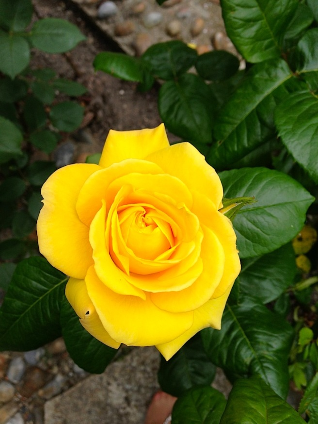 Rose yellow 1