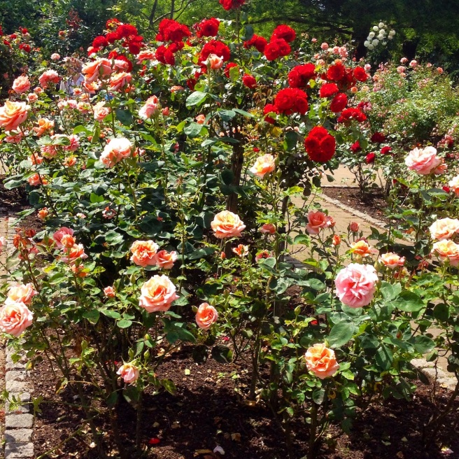 Roses in Holland Park London
